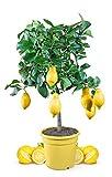 Meine Orangerie Zitronenbaum Mezzo - echter Citrusbaum - 70 bis 100 cm - veredelte...