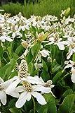 2er-Set - Anemopsis californica - Molchschwanz - Yerba Mansa, weiß - Wasserpflanzen...