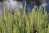 4er-Set im Gratis-Pflanzkorb - winterhart - Hippuris vulgaris - Tannenwedel -...
