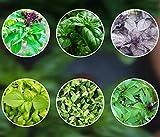 Basilikum-Mix 6 x 250 Basilikumsamen ganzjährig pflanzen aus Portugal Saatgut...