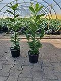 Kirschlorbeer Heckenpflanzen immergrün Sichtschutz Prunus lauroc.'Novita' im Topf...