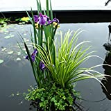 3 Miniteich Pflanzen | Teichpflanzen winterhart Set | Schwimminsel Teich | Höhe...