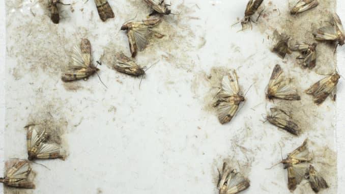 Mehlmotten auf Mottenfalle