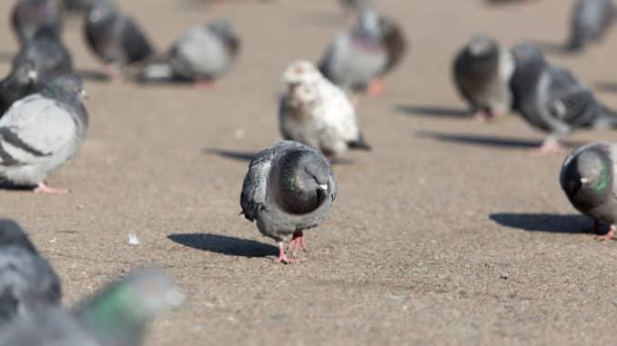 Tauben sind oft lästig