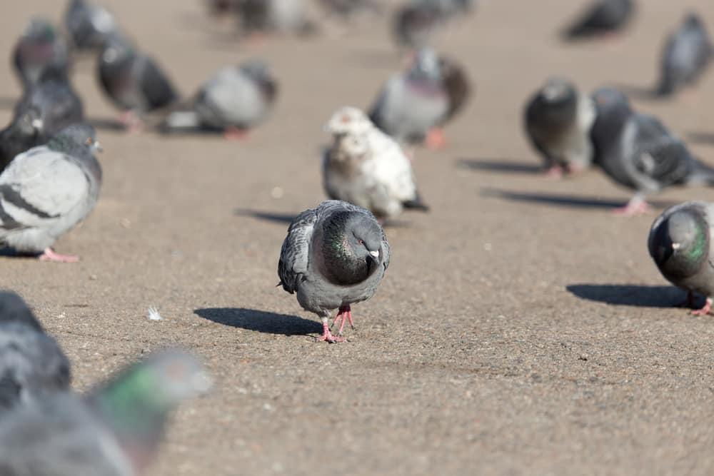 Taubengift
