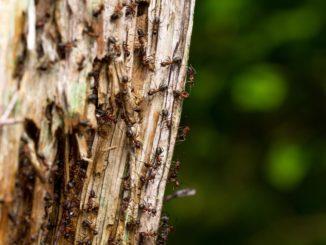 Ameisen an einem Baumstamm