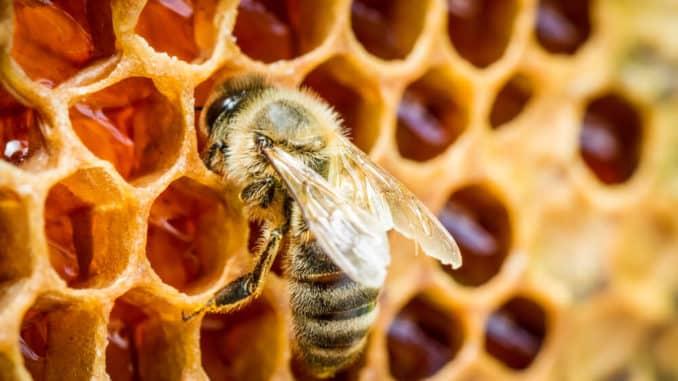 Biene auf einer Bienenwabe