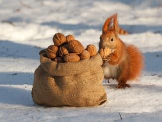 Eichhörnchen mit Nüssen