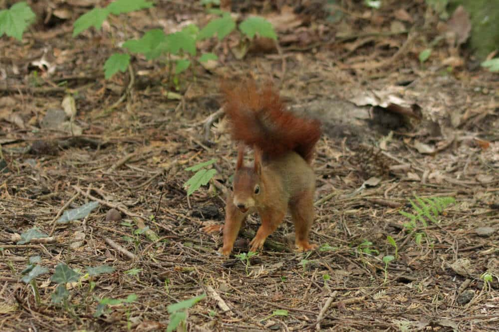 aufmerksames Eichhörnchen
