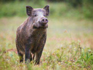 Wildschwein in einem Garten