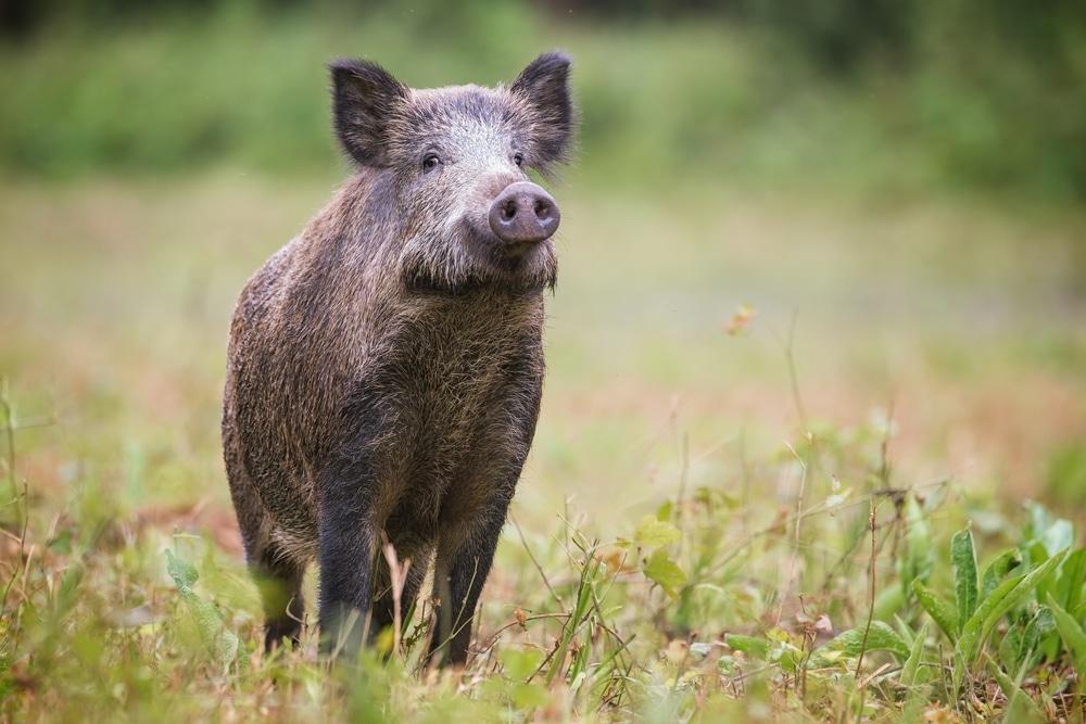 Wildschweinabwehr Im Garten So Schutzen Sie Ihren Garten Terrasse Garten