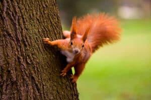 Rotes, eurasisches Eichhörnchen klettert am Baum