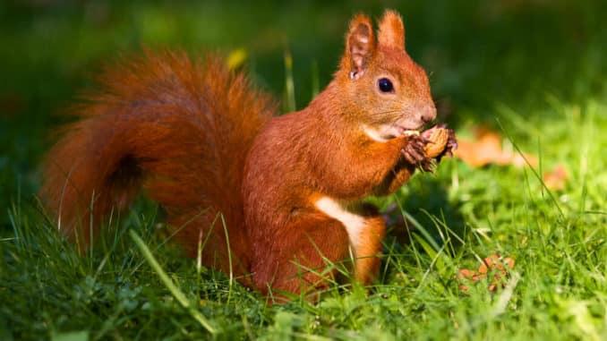 Ein rotes Eichhörnchen