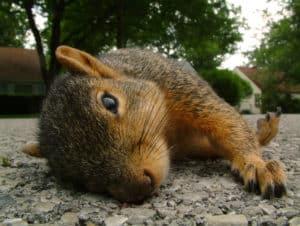 Totes Eichhörnchen auf einer Straße