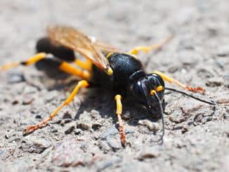 Wespe mit Stachel