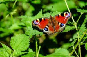 Schmetterling auf Brennnessel