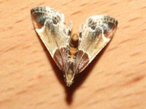 Mehlzünsler (Pyralis farinalis)