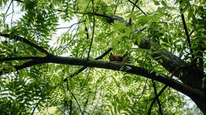 verstecktes Eichhörnchen