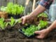 Salat anpflanzen