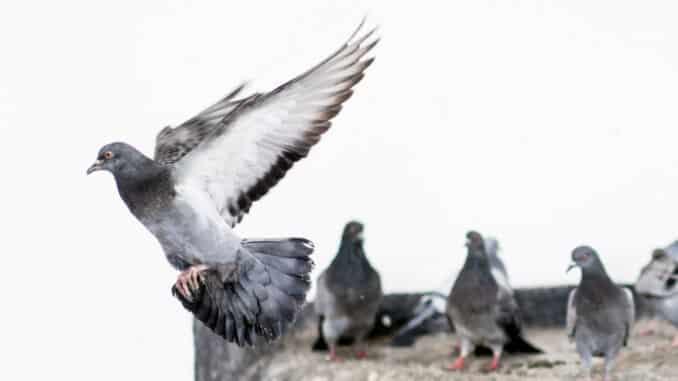 Tauben auf einem Hausdach